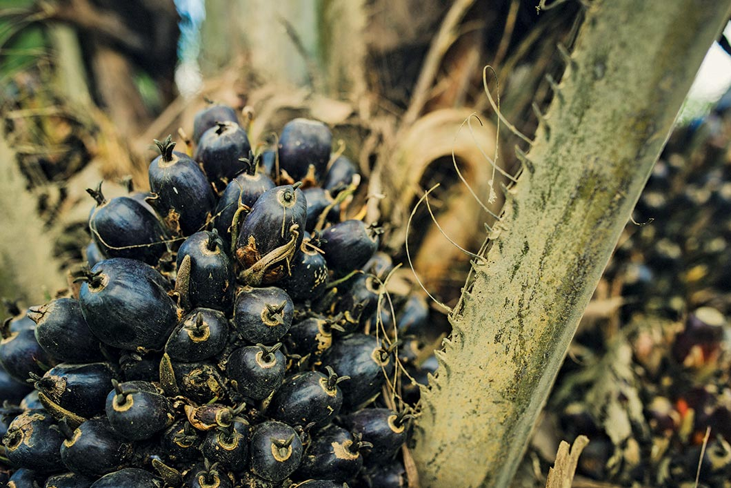 Oil palm fruit.