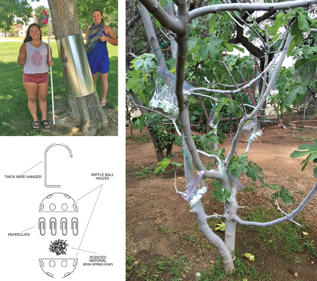 """Clockwise: Michaela Yaman '18 and Kristin Lie '18 install and test sheet metal on a tree trunk as a squirrel deterrent. Professor Furuya tried one ofthe suggested squirrel deterrents—Irish Spring soap—on his fig trees and was able to harvest a bountiful crop.""""The students' brilliant idea worked,"""" he says. The diagram showsone team's wiffle ball/soap solution."""